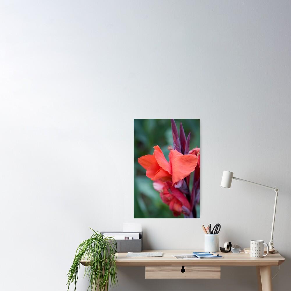 Orange Canna Lily Poster