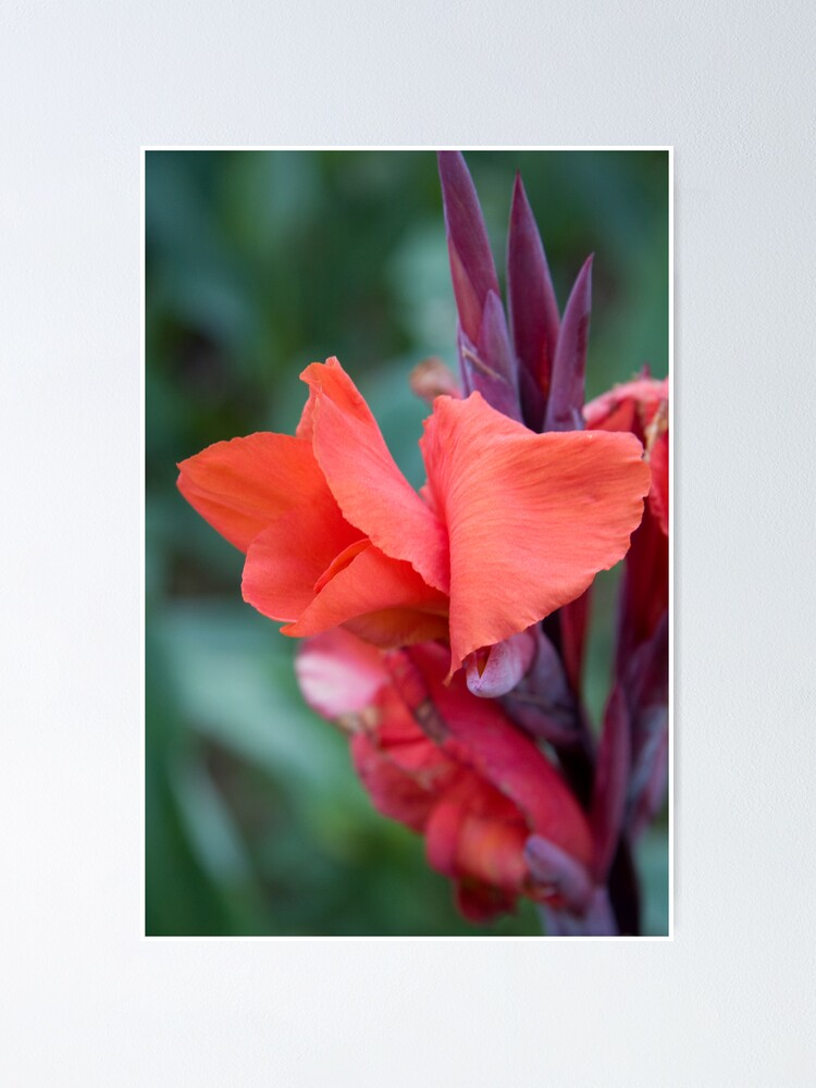 Alternate view of Orange Canna Lily Poster