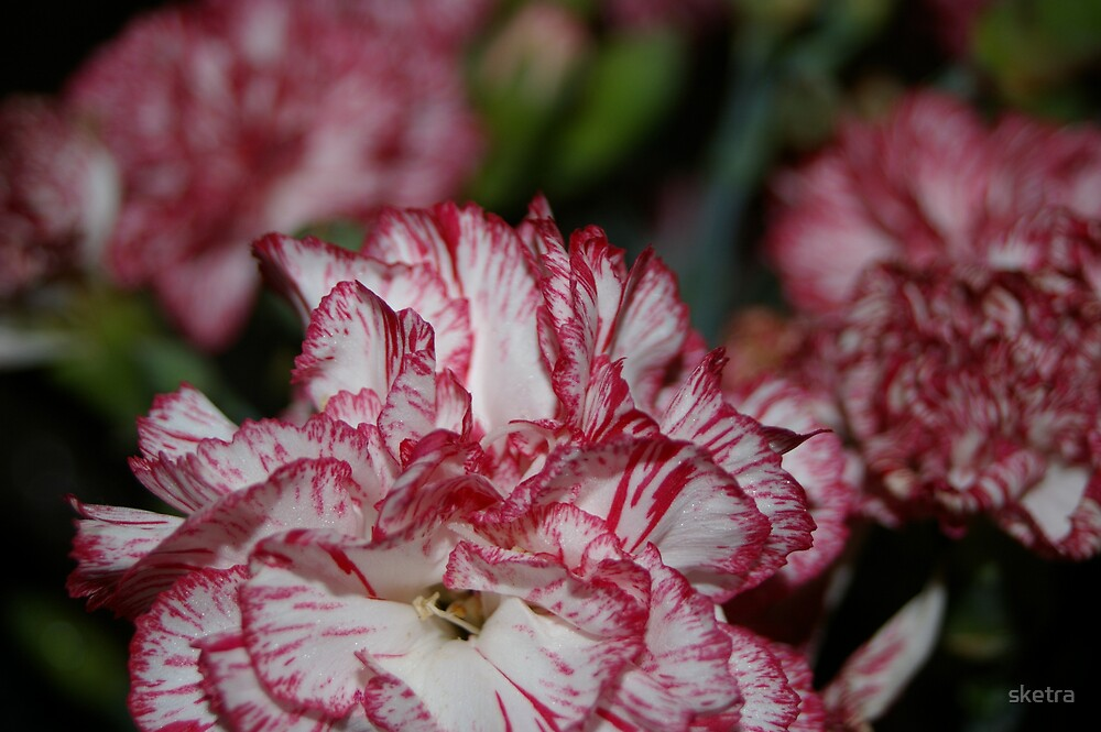 Carnations by sketra