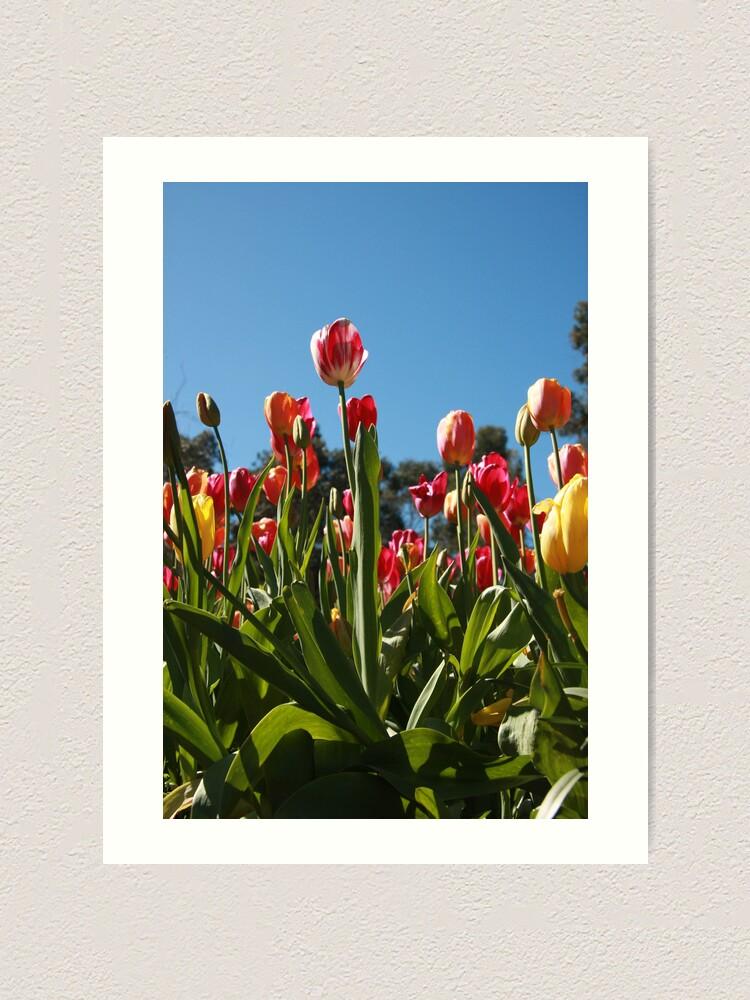Alternate view of Tulips at Araluen Art Print