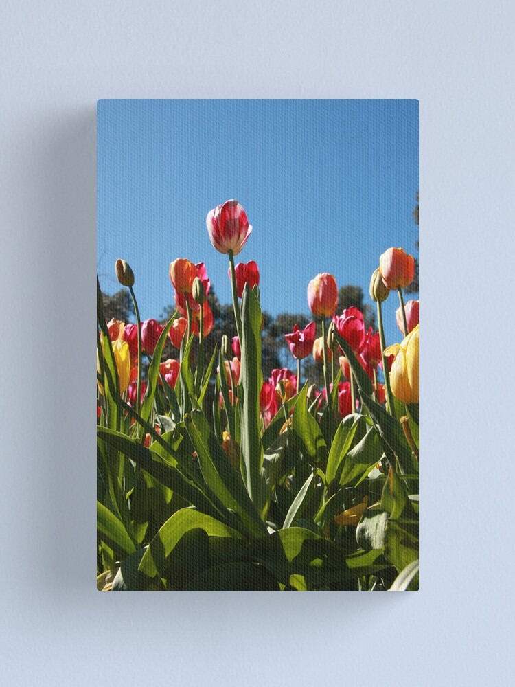 Alternate view of Tulips at Araluen Canvas Print