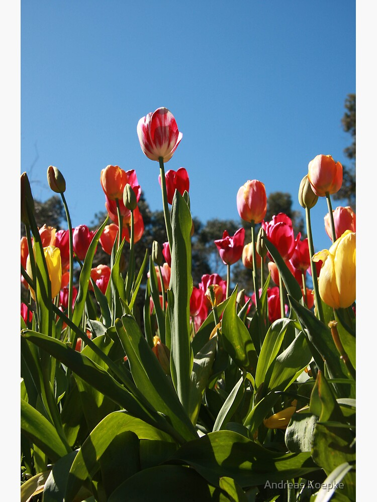 Tulips at Araluen by mistered