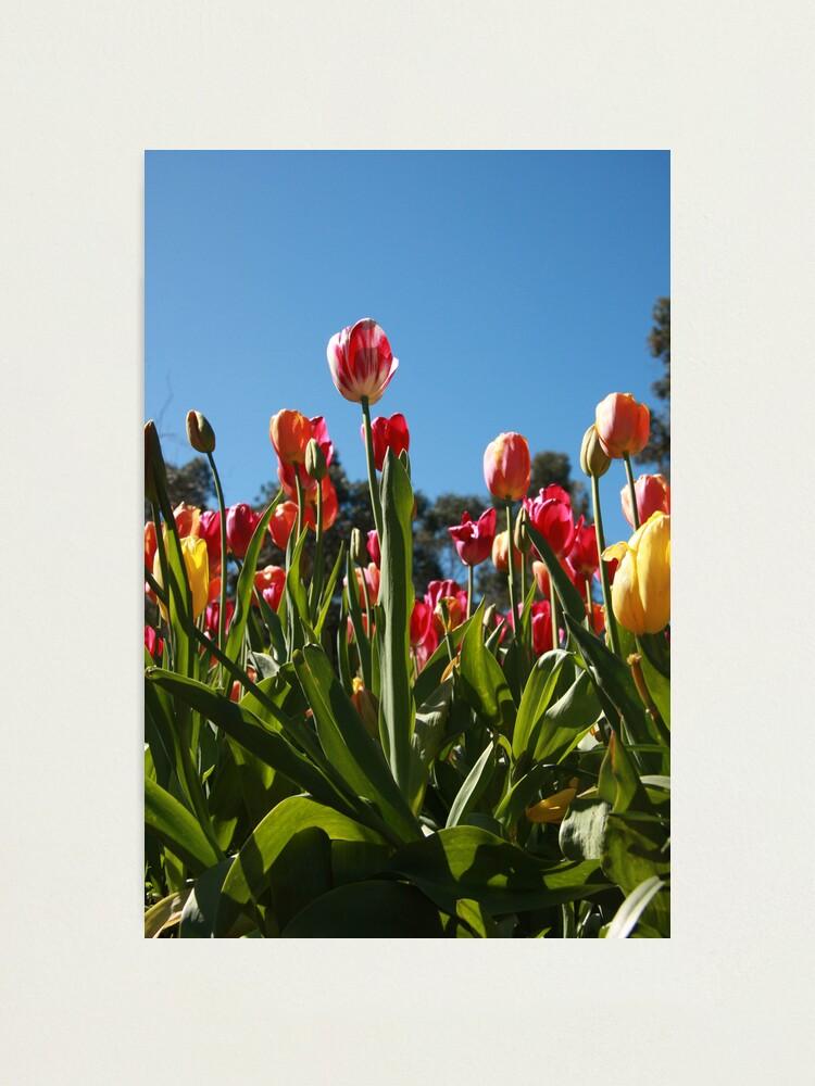 Alternate view of Tulips at Araluen Photographic Print