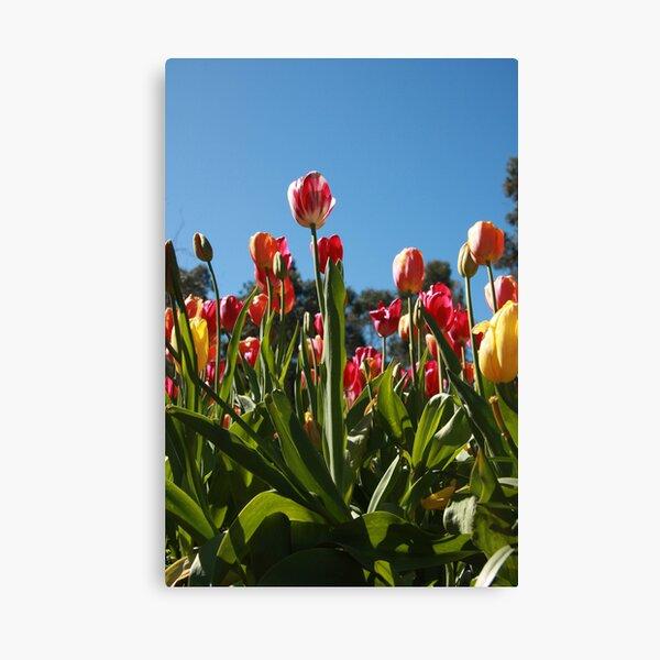 Tulips at Araluen Canvas Print