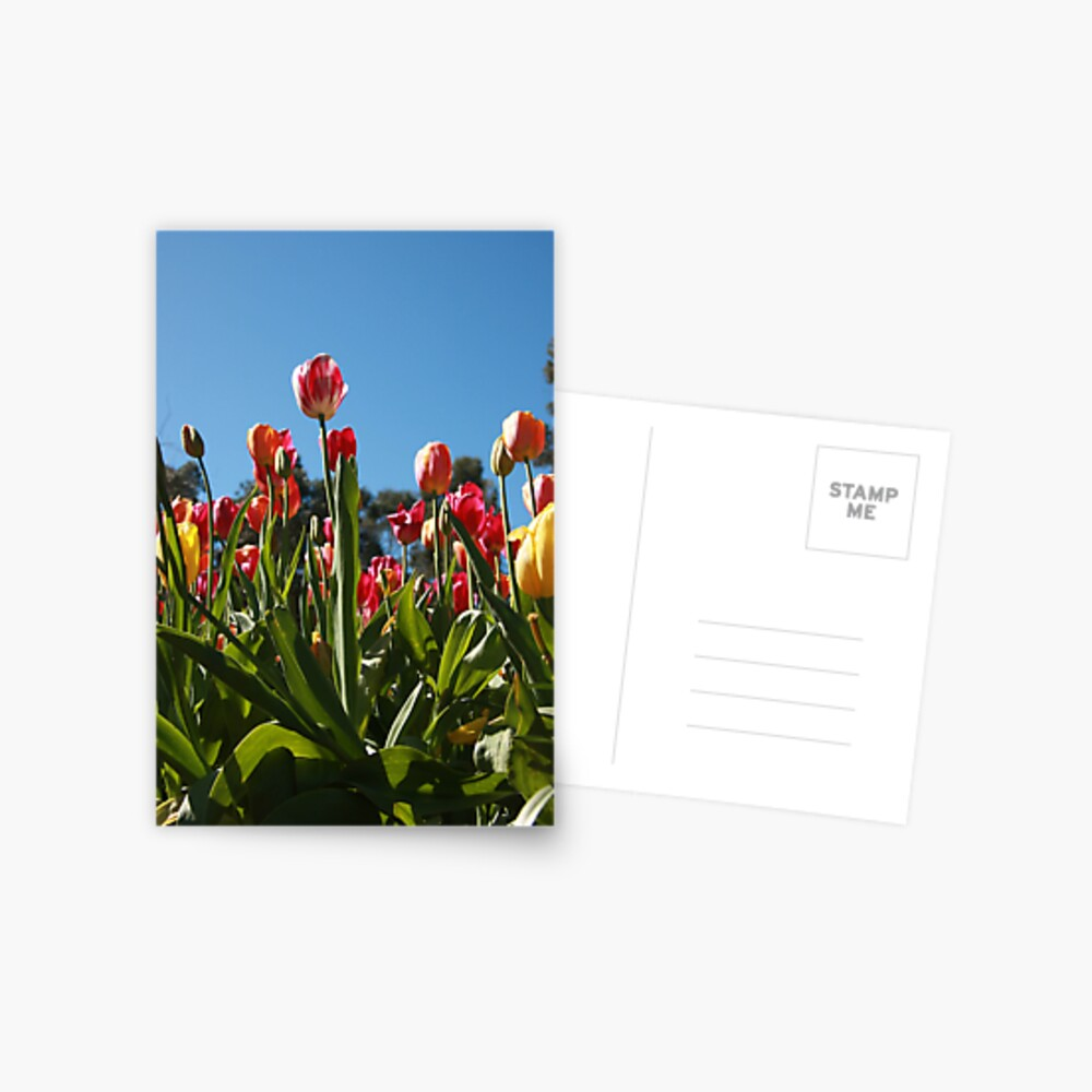 Tulips at Araluen Postcard