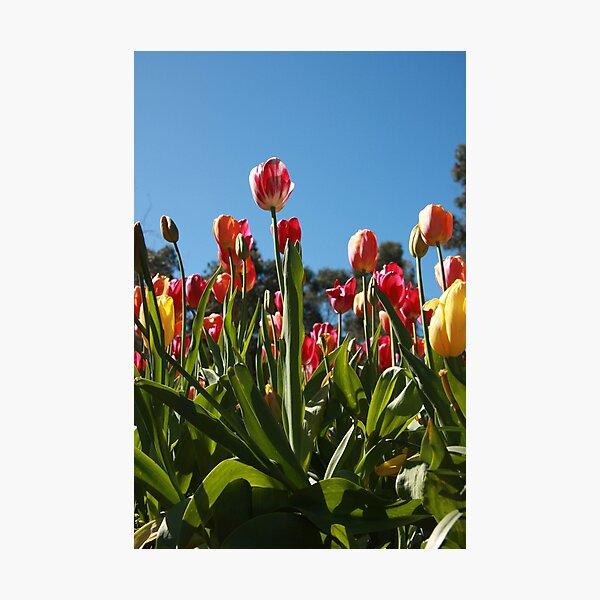 Tulips at Araluen Photographic Print