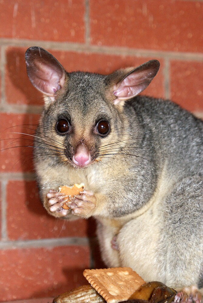 Possum Eating a Biscuit by poinsiana
