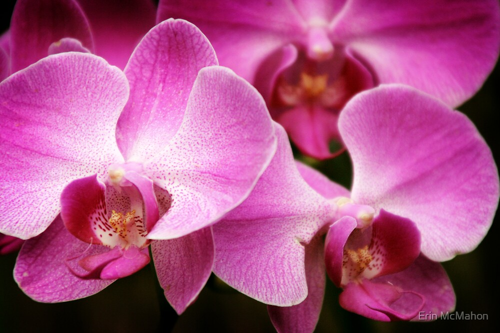 Orchids by Erin McMahon