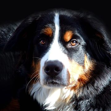 Bernese Mountain Dog by johnny55
