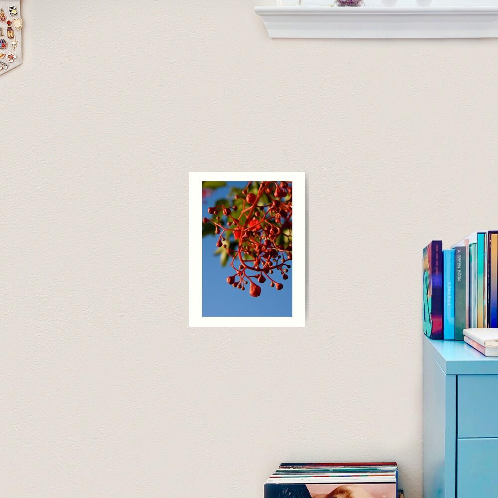 Brachychiton Acerifolius - Flame Tree Art Print