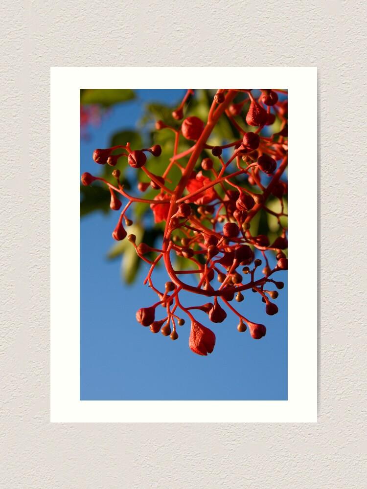 Alternate view of Brachychiton Acerifolius - Flame Tree Art Print