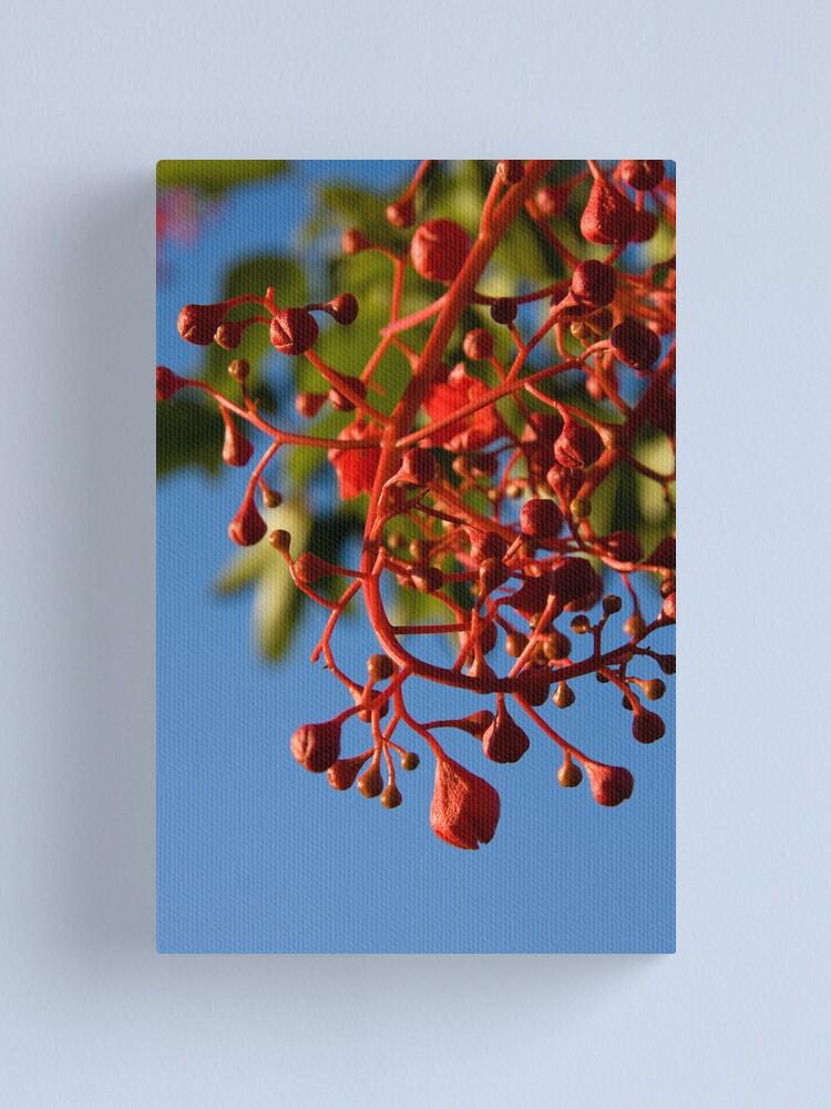 Alternate view of Brachychiton Acerifolius - Flame Tree Canvas Print