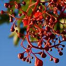 Brachychiton Acerifolius - Flame Tree by Andreas Koepke