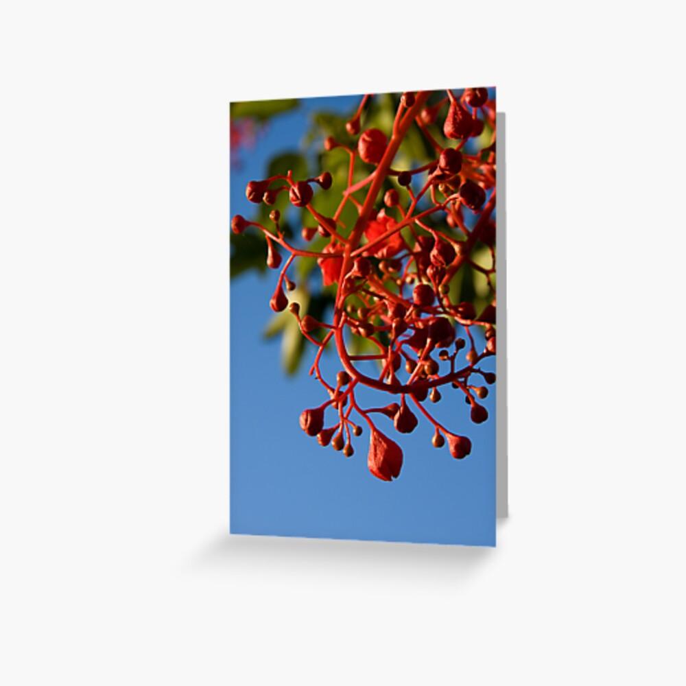Brachychiton Acerifolius - Flame Tree Greeting Card