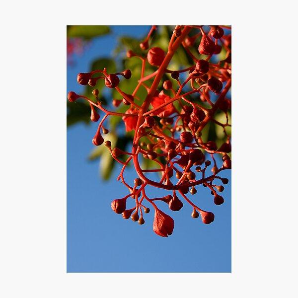 Brachychiton Acerifolius - Flame Tree Photographic Print