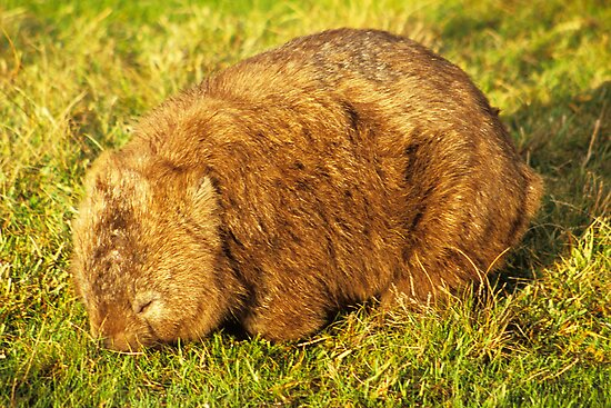 Fatso the fat-arsed Wombat by Travis Easton