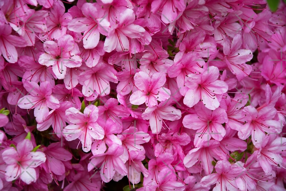 Pink Flowers by SiobhanFraser
