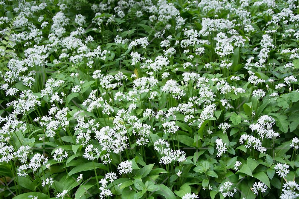 Up Close to Wild Garlic Flowers by SiobhanFraser