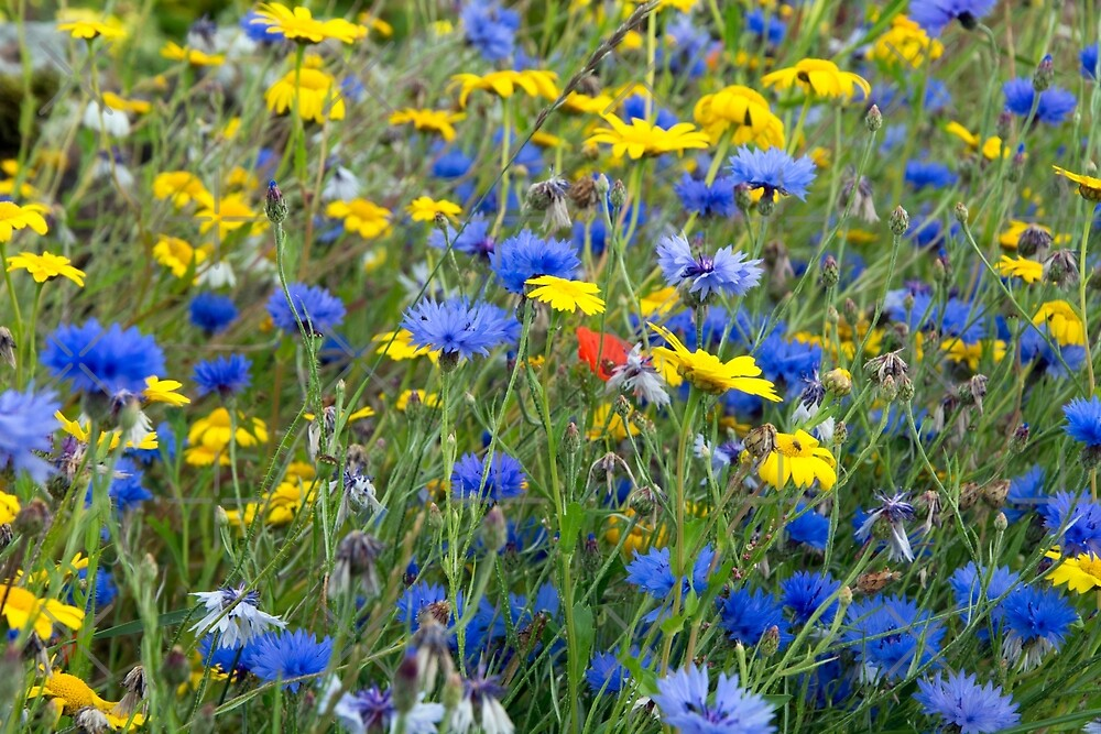 Blue Cornflowers and Yellow Daisies by SiobhanFraser
