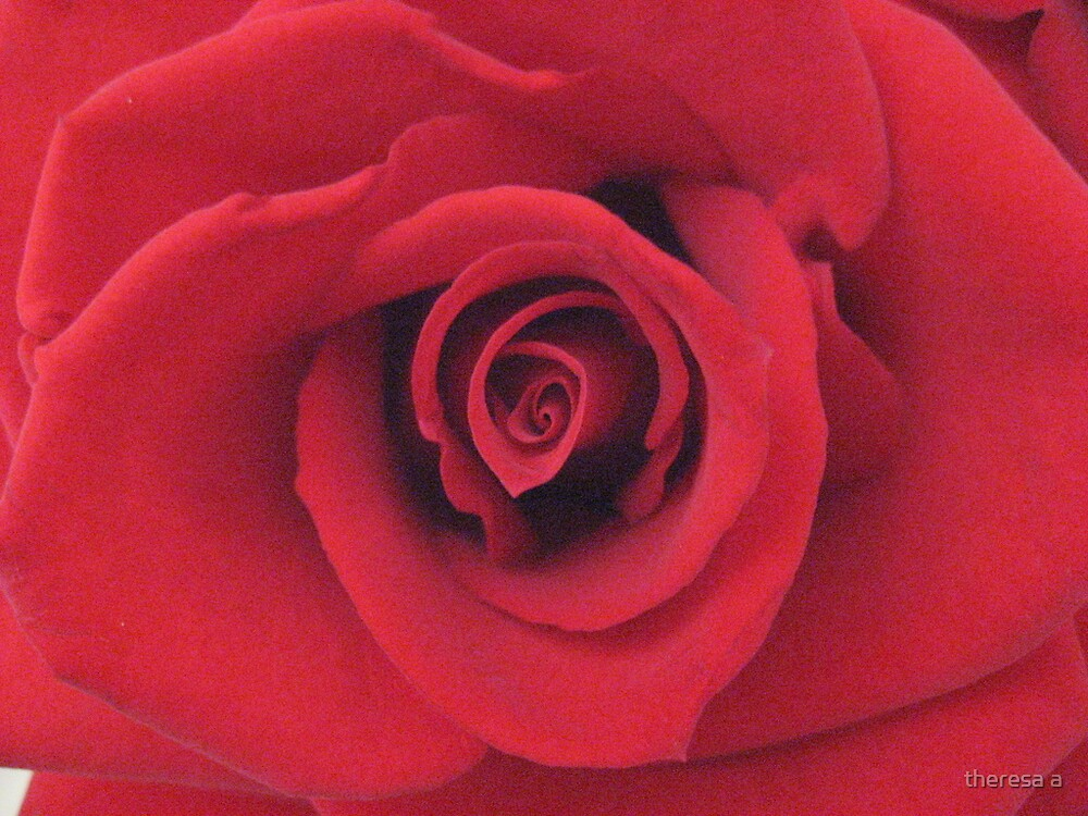 A RED ROSE by theresa a