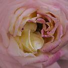 Softly Rose by Judi FitzPatrick