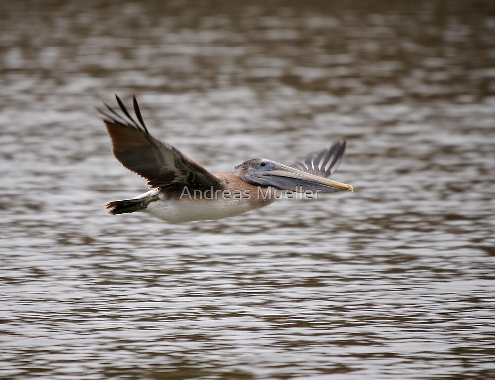 Brown Pelican Review Pass by Andreas Mueller