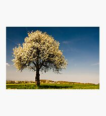 Single blossoming tree in spring. Photographic Print