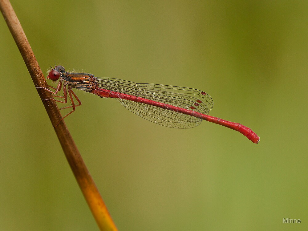 Small Red Damselfly  by Minne