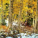 Golden Aspens In The Snow by K D Graves Photography