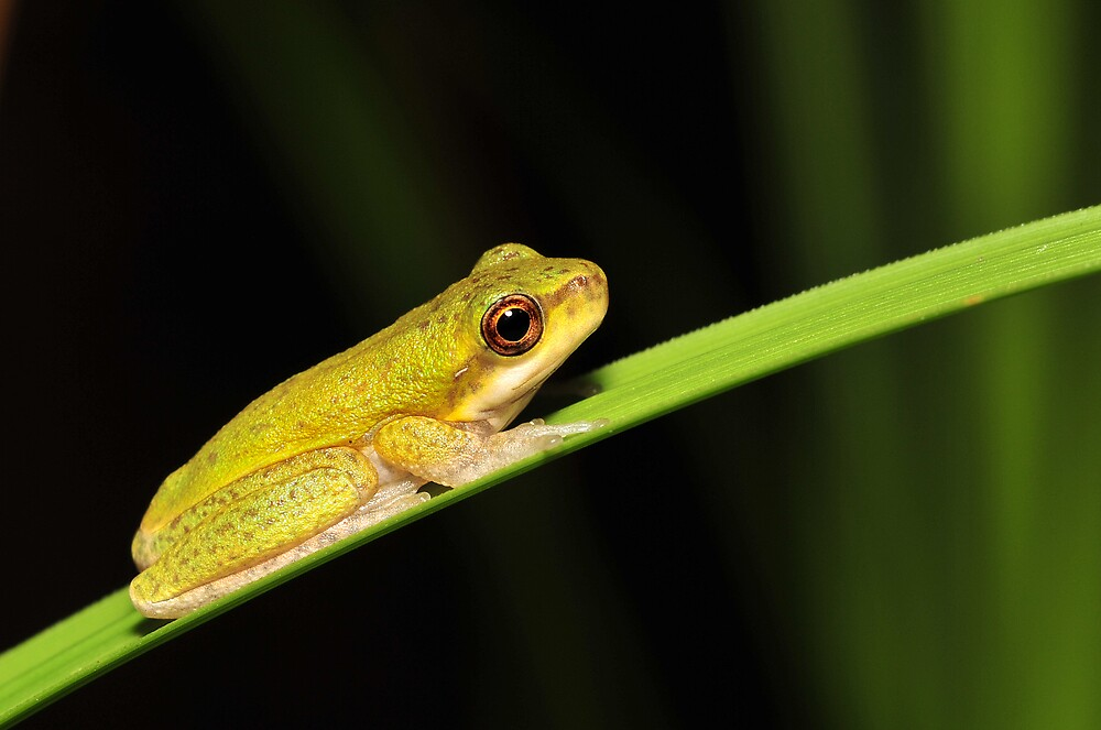 Litoria cooloolensis metamorph by Narelle Power