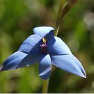 Blue Lady Orchid by kalaryder