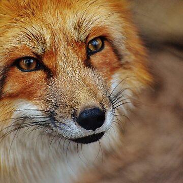 Fox by Xymota