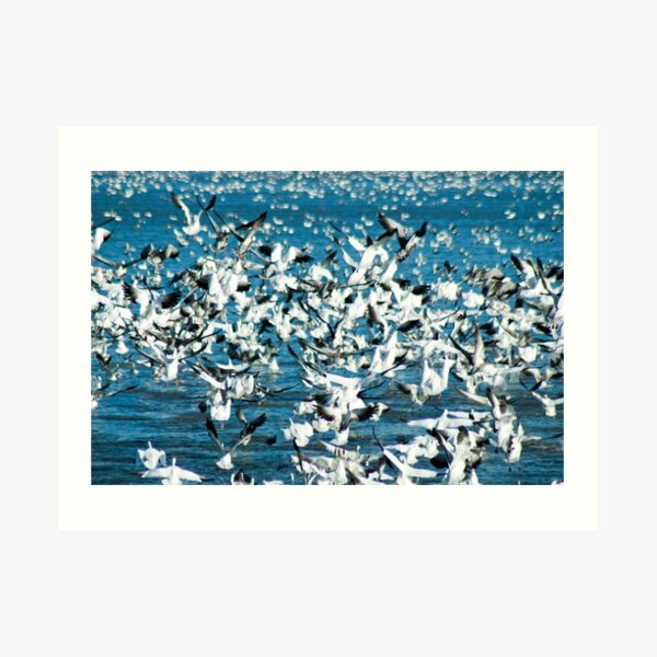 Plethora of Snow Geese Art Print