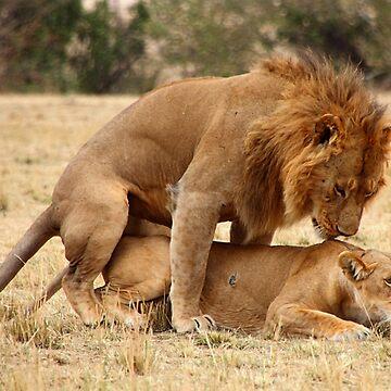 Apparent Tenderness. Lions Copulating, Maasai Mara, Kenya  by Carole-Anne