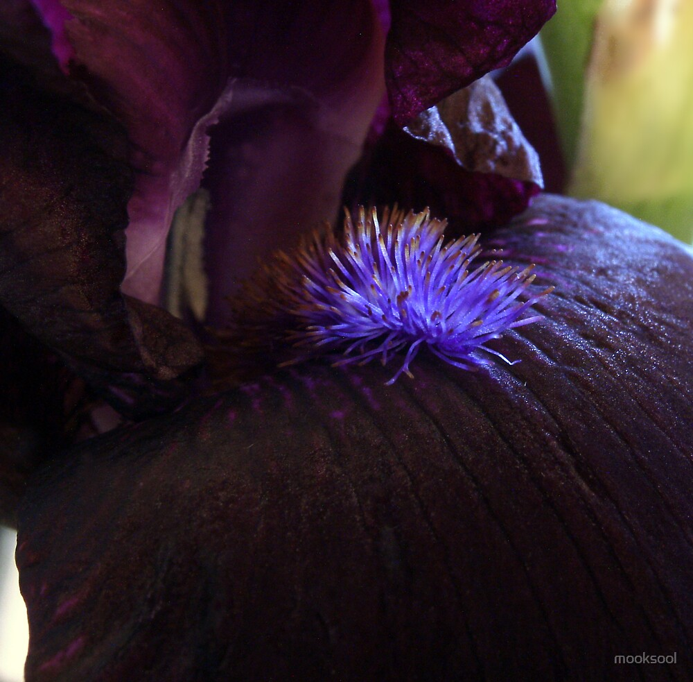 Black Iris macro by mooksool