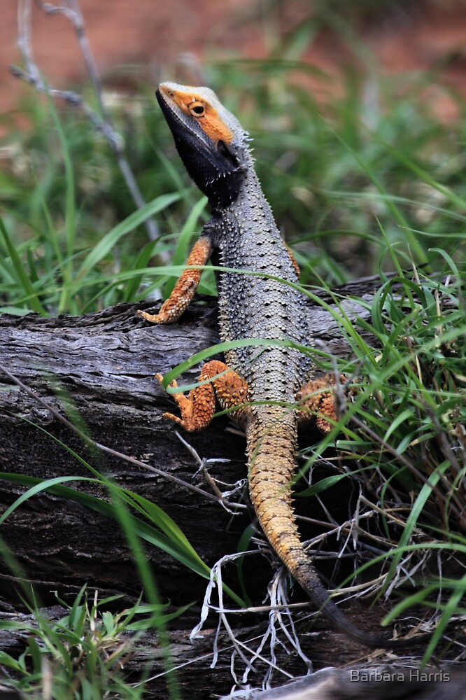 Inland Bearded Dragon (Pogona vitticeps) by Barbara Harris