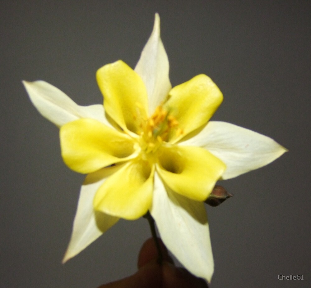 Yellow Aquilegia by Chelle61