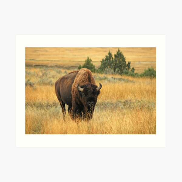 Buffalo at TRNP Art Print