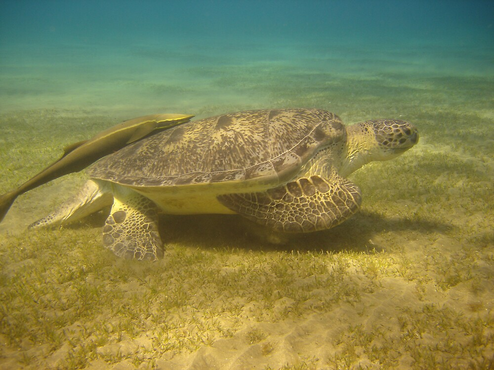Sea Turtle by 2Tall