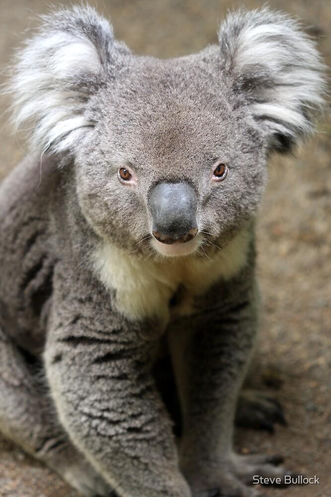 Koala Portrait by Steve Bullock