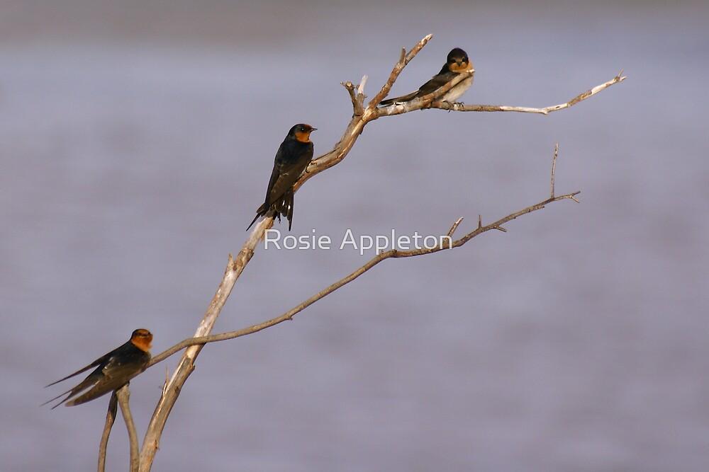 Welcome Swallows (Hirundo neoxena) by Rosie Appleton