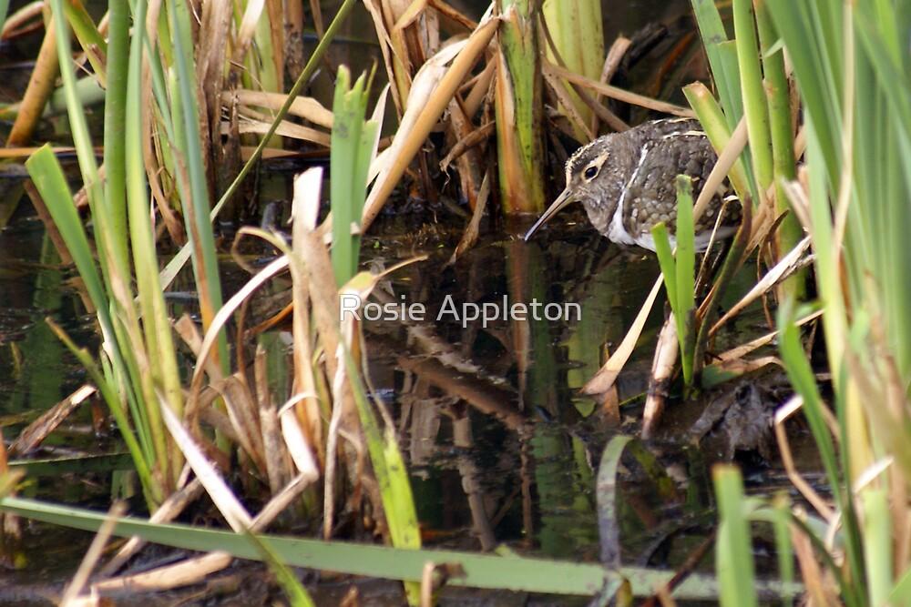 Australian Painted Snipe (Rostratula australis)  2 by Rosie Appleton