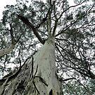 *Tall Timber at Blackwood, Vic. Australia* by EdsMum