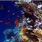 Red Lyretail Anthias Red Sea by hurmerinta