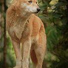Dingo by Karen Duffy