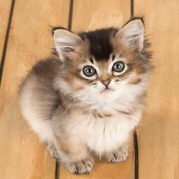 Cute Tiffanie kitten sitting on the floor by ArdeaOnline