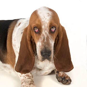 Sad looking Basset Hound dog by ArdeaOnline
