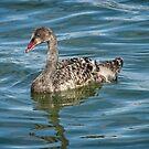 Black Swan Cygnet by Sandra Chung