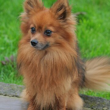 Fluffy Pomeranian  by AnthonyThomas