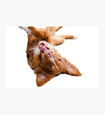 sweetheart red dog playing on white Photographic Print